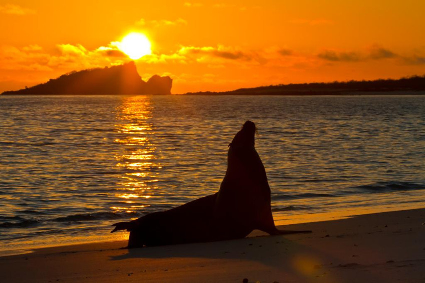 León de mar de las islas Galápagos (Zalophus wollebaeki)